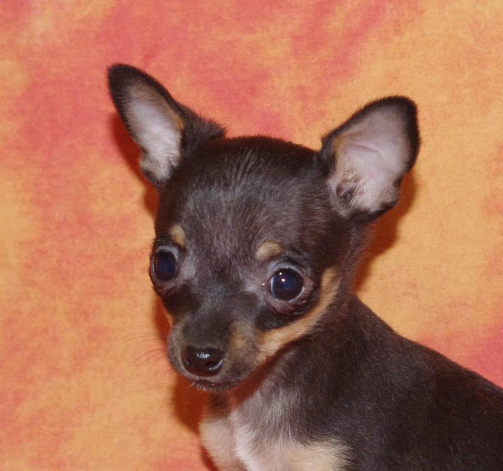 Chiot Pinscher nain : 1  mâle – femelle 1 240300