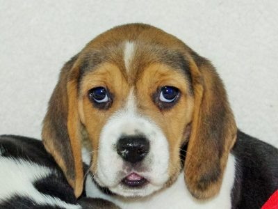Chiot Beagle : 0  mâle – femelles 3 241497