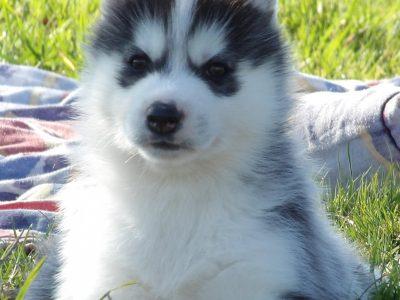 Chiot Siberian husky : 2  mâles – femelle 0 242868