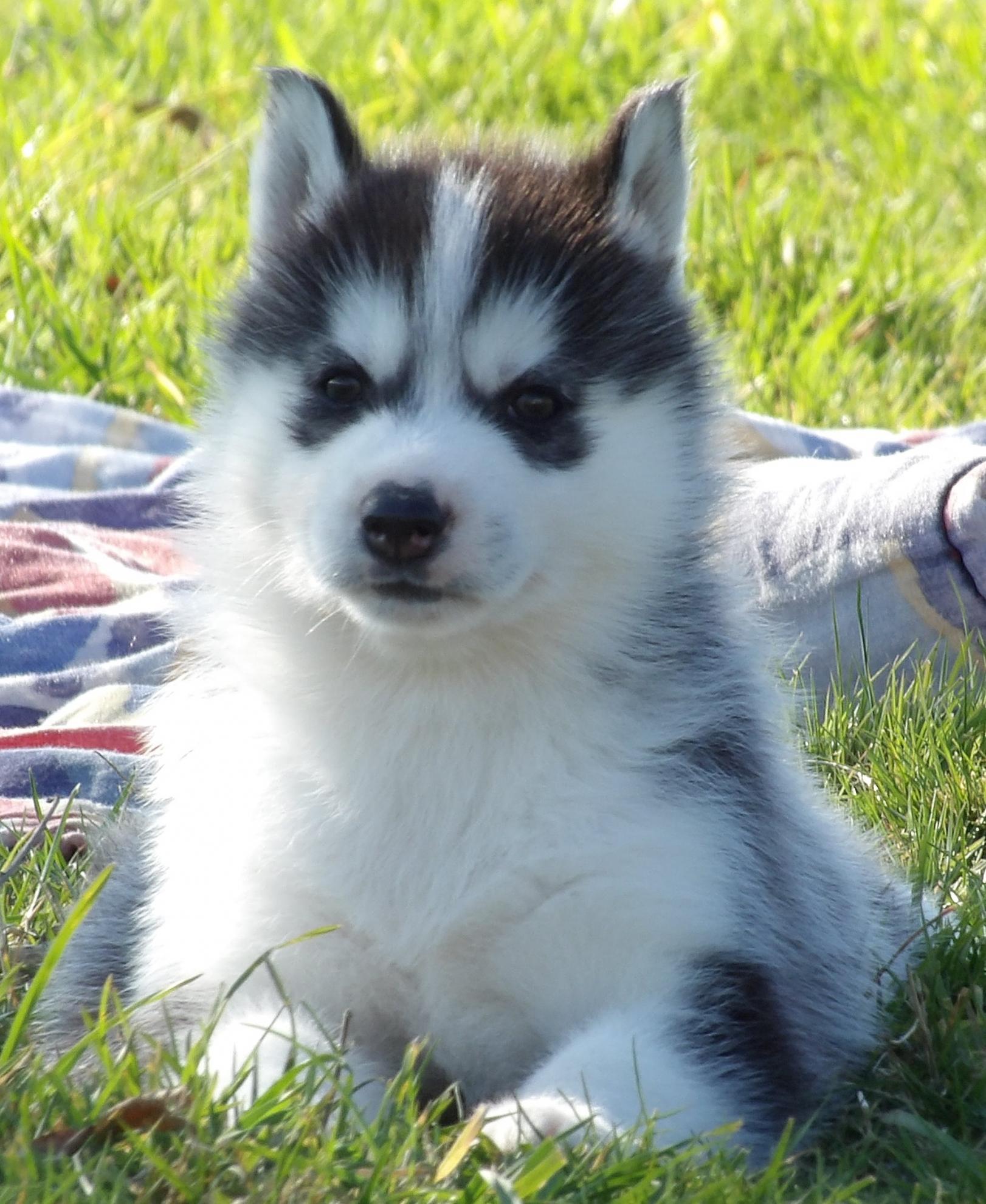 Chiot Siberian husky : 2  mâles - femelle 0 242868