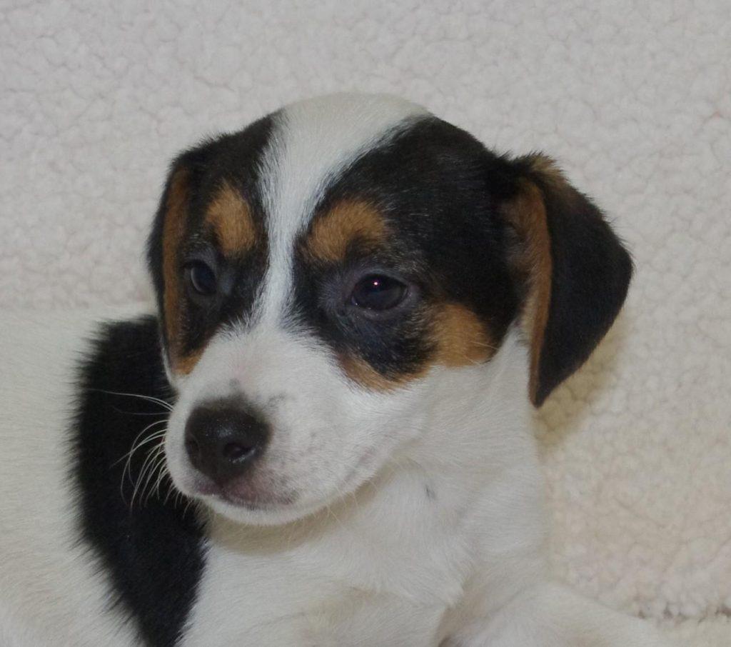 Chiot Jack russell terrier : 2  mâles – femelles 3 241111