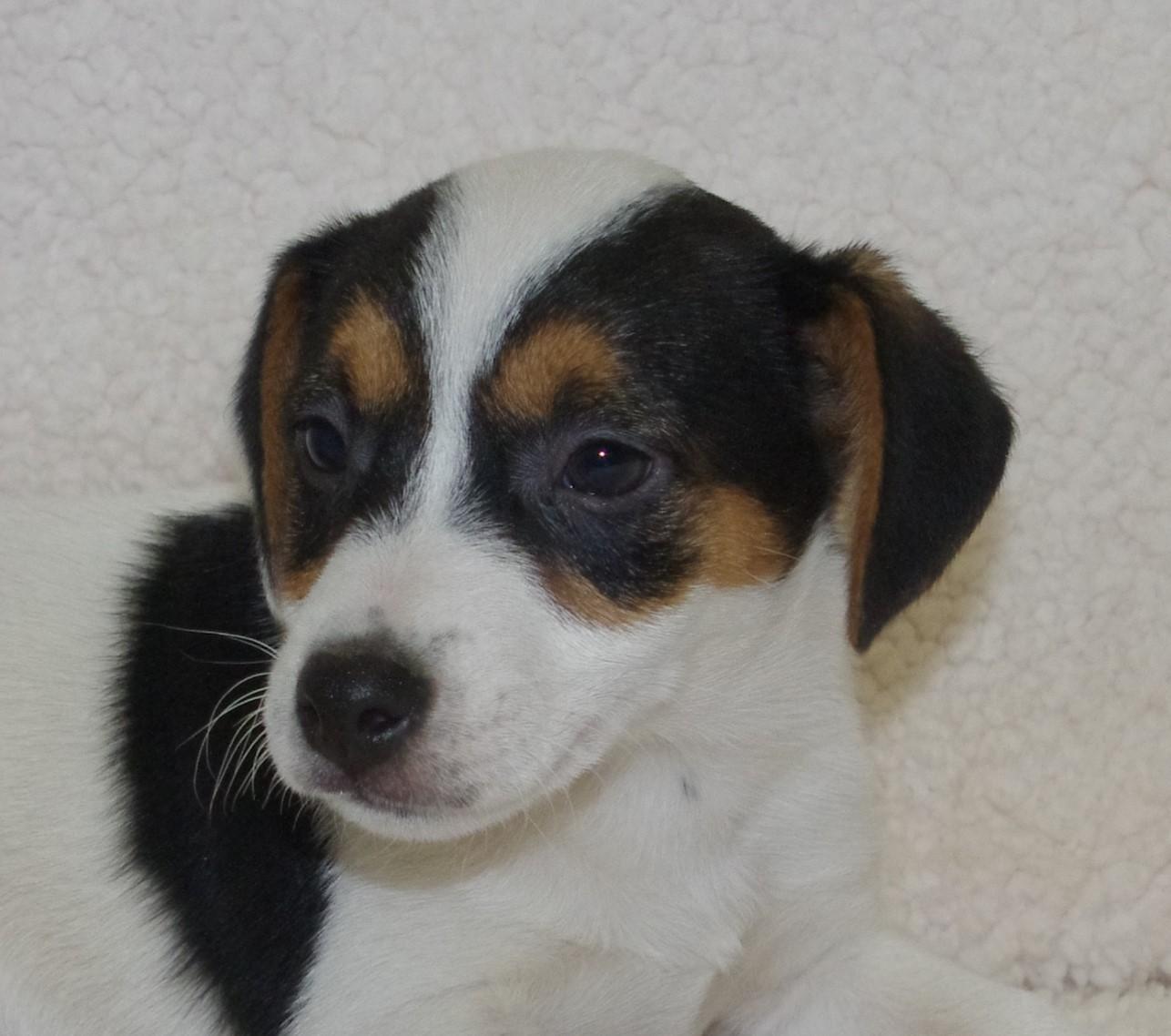 Chiot Jack russell terrier : 2  mâles - femelles 3 241111