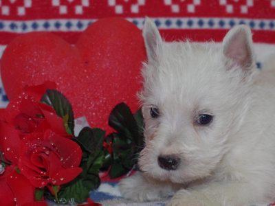Chiot West highland white terrier : 3  mâles – femelles 2 241496