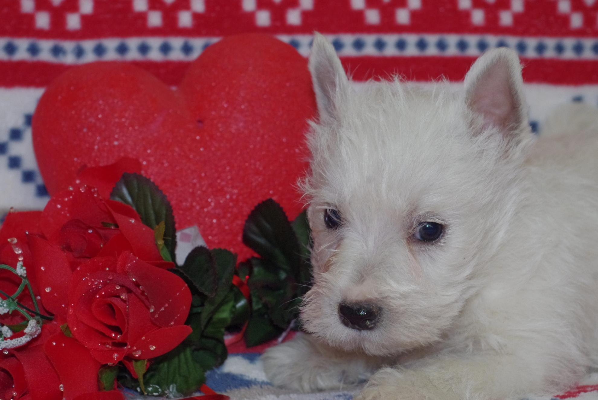 Chiot West highland white terrier : 3  mâles - femelles 2 241496