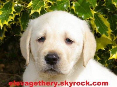 Chiot Labrador retriever : 2  mâles – femelles 5 244269