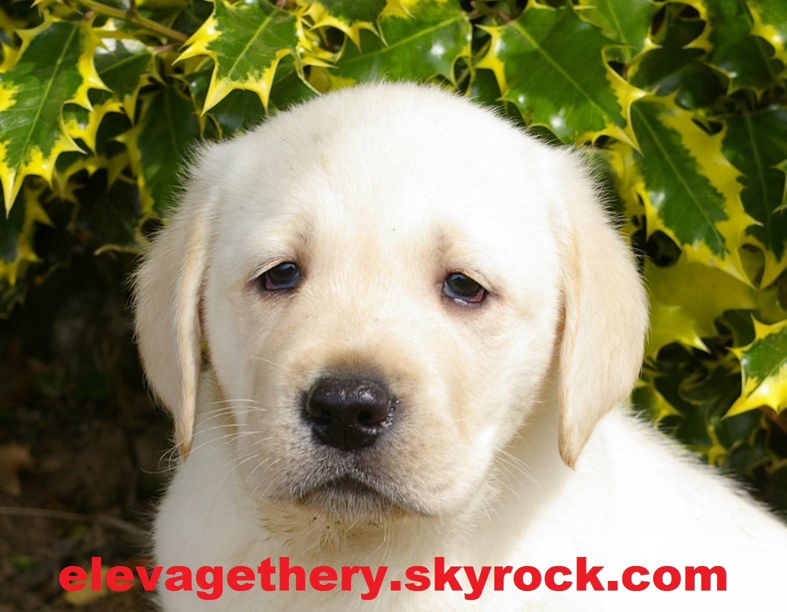 Chiot Labrador retriever : 2  mâles - femelles 5 244269