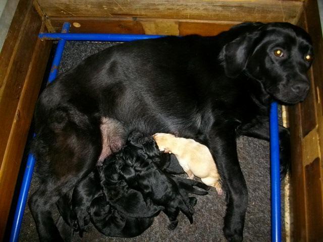 Chiot Labrador retriever : 6  mâles - femelles 2 239521