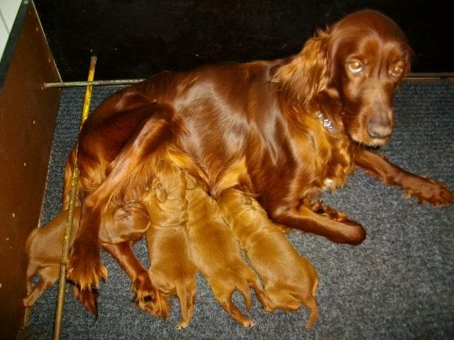 Chiot Setter Irlandais : 2  mâles - femelles 2 244890