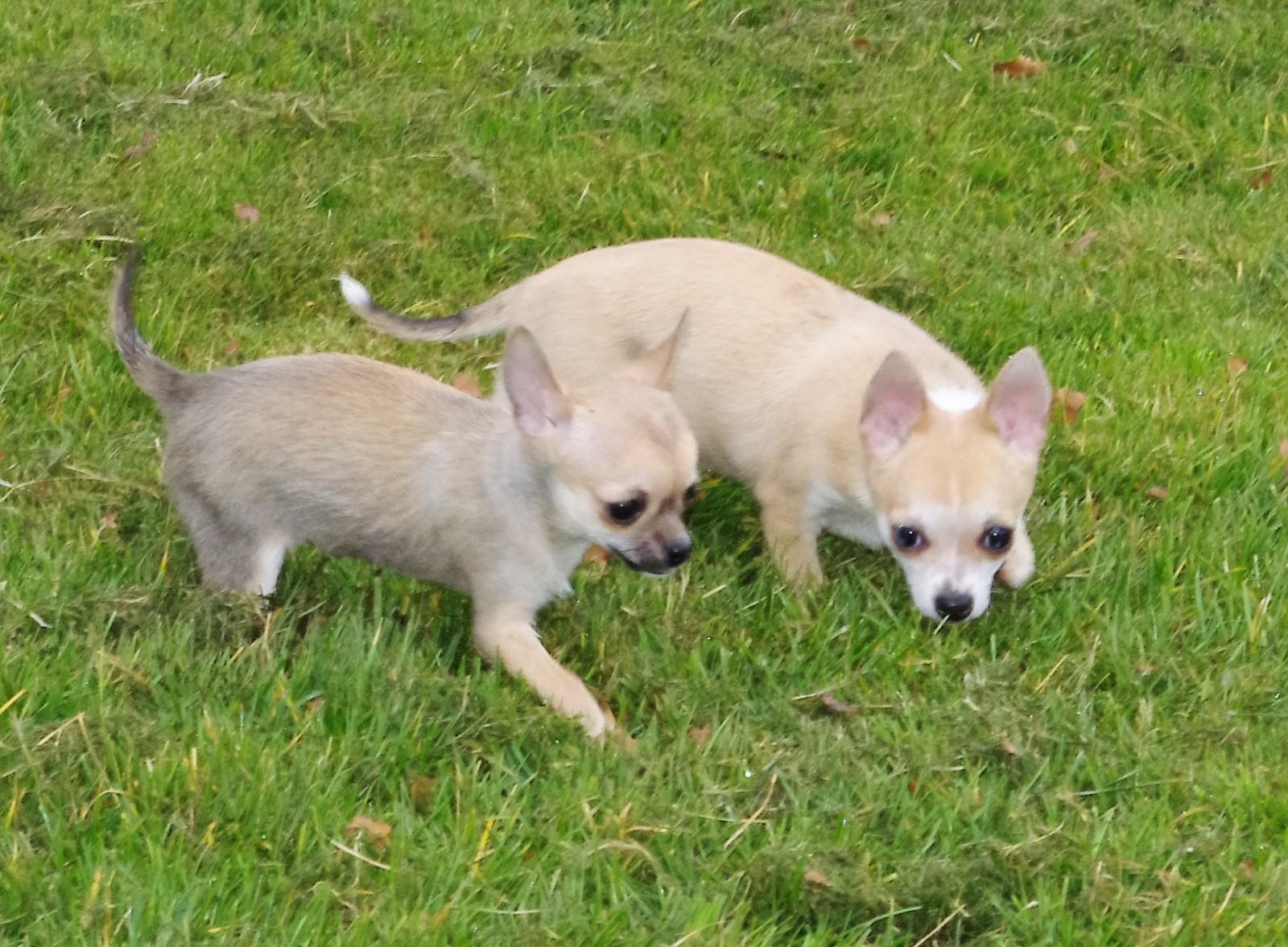 Chiot Chihuahua : 3  mâles - femelles 2 241113