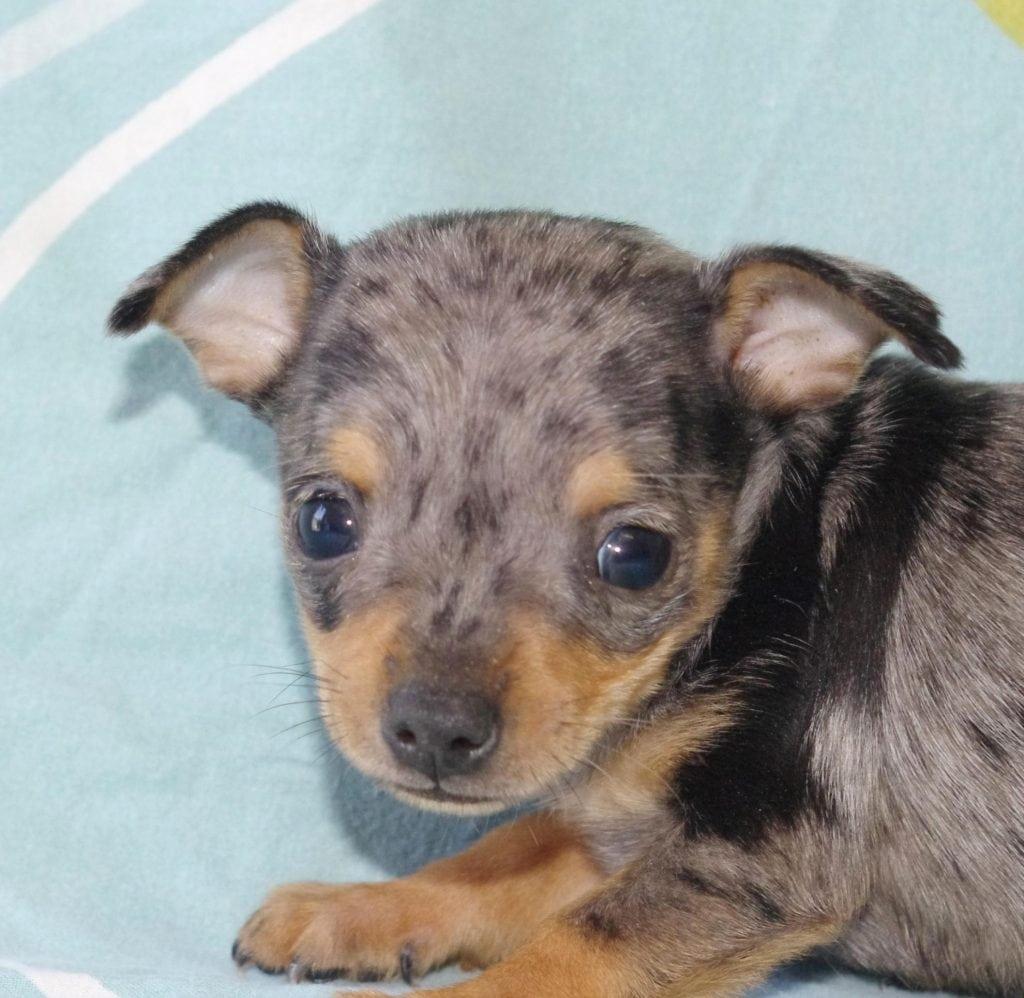Chiot Chihuahua : 1  mâle – femelle 1 236728