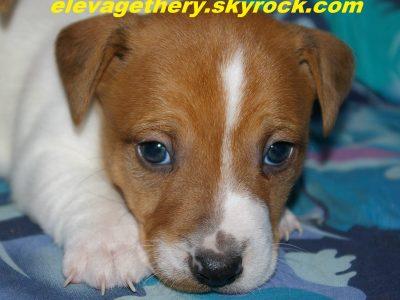 Chiot Jack russell terrier : 1  mâle – femelles 3 247495