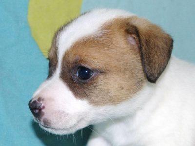 Chiot Jack russell terrier : 2  mâles – femelles 4 246204