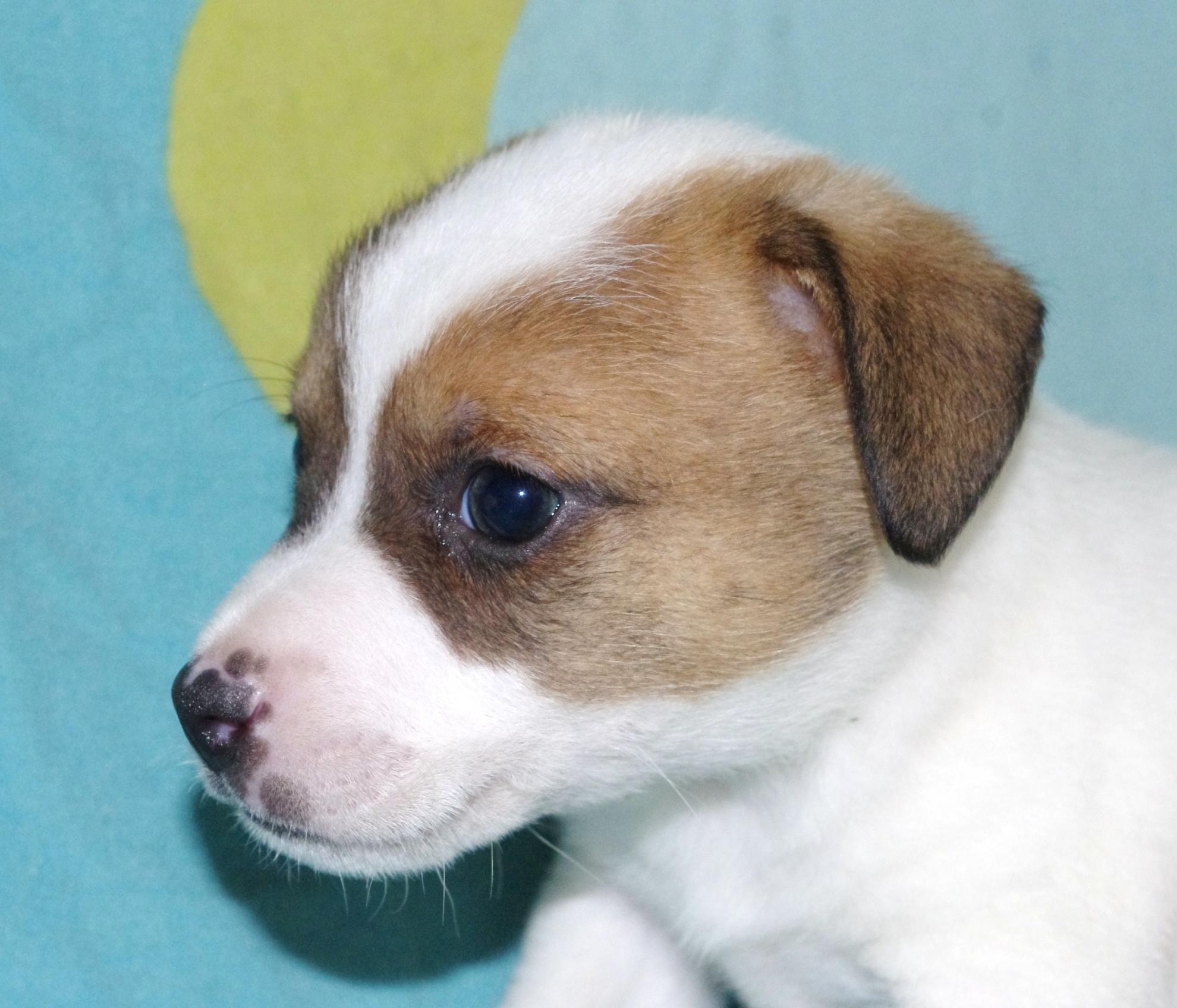 Chiot Jack russell terrier : 2  mâles - femelles 4 246204