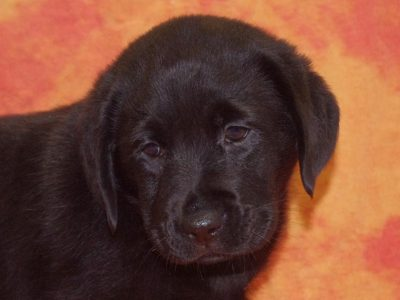 Chiot Labrador retriever : 2  mâles – femelles 5 245246
