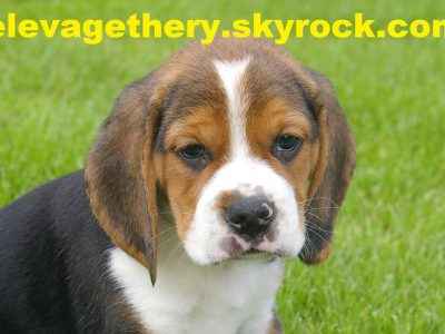 Chiot Beagle : 2  mâles – femelles 4 246208