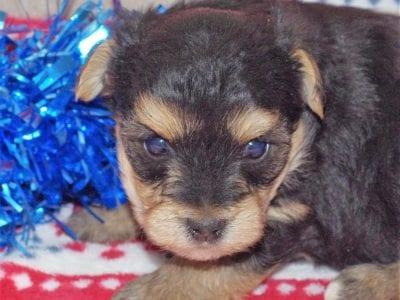 Chiot Yorkshire terrier : 1  mâle – femelle 1 240299