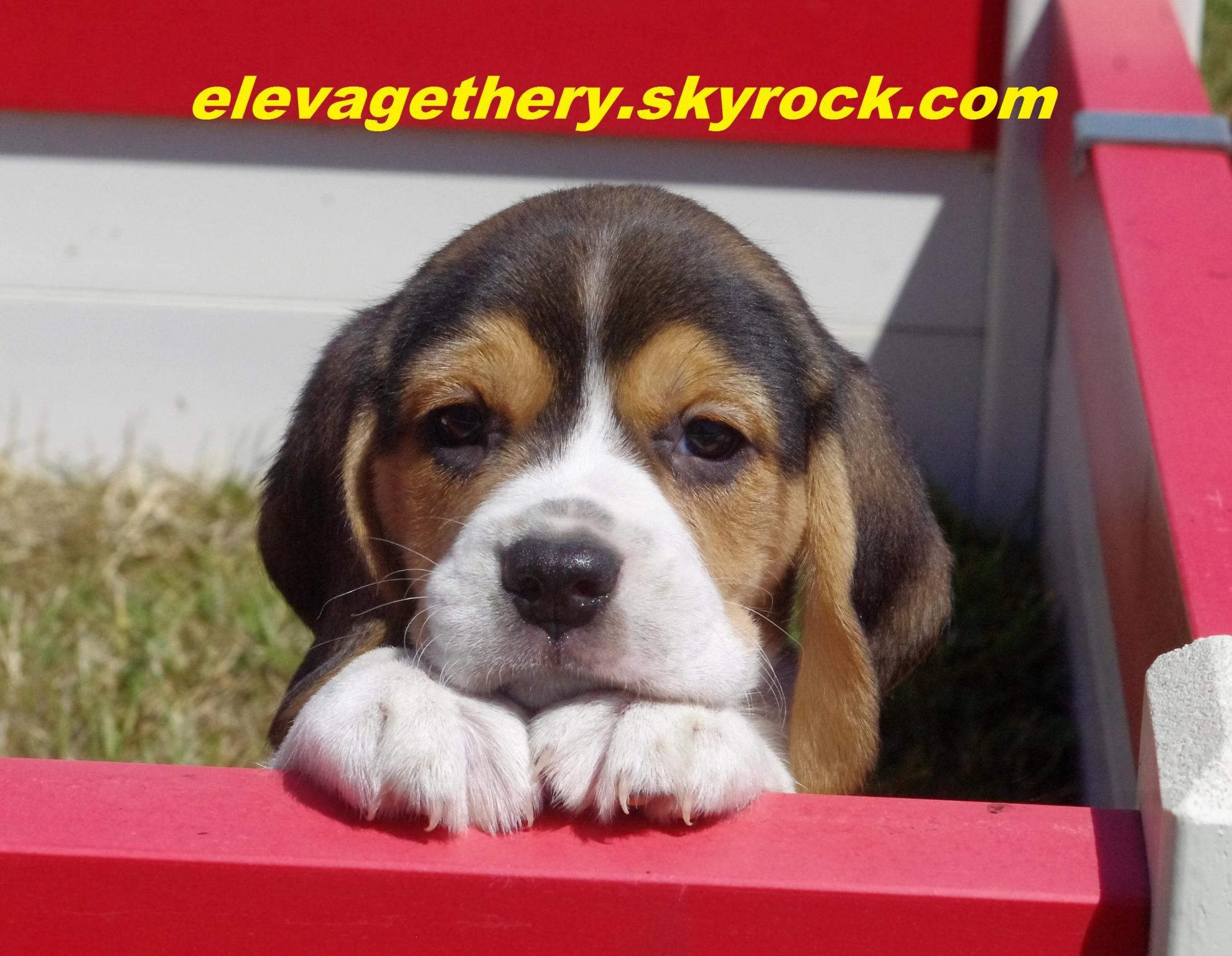 Chiot Beagle : 3  mâles - femelle 0 247336