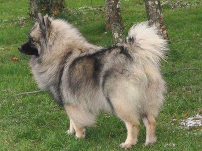 Chiot Spitz loup : 6  mâles – femelles 3 248946