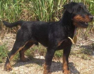 Chiot Jagd terrier : 4  mâles – femelle 0 239288