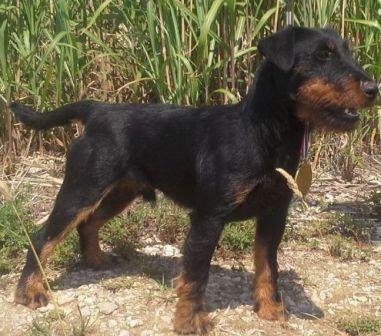 Chiot Jagd terrier : 4  mâles - femelle 0 239288