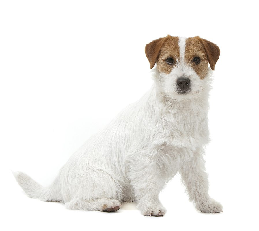 https://www.wikichien.fr/wp-content/uploads/sites/4/jack-russel-terrier-images-photos-animal-000047_1-0.jpg