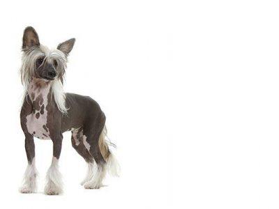 « L'eczéma » du chien