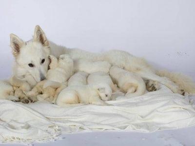 La lactation de la chienne