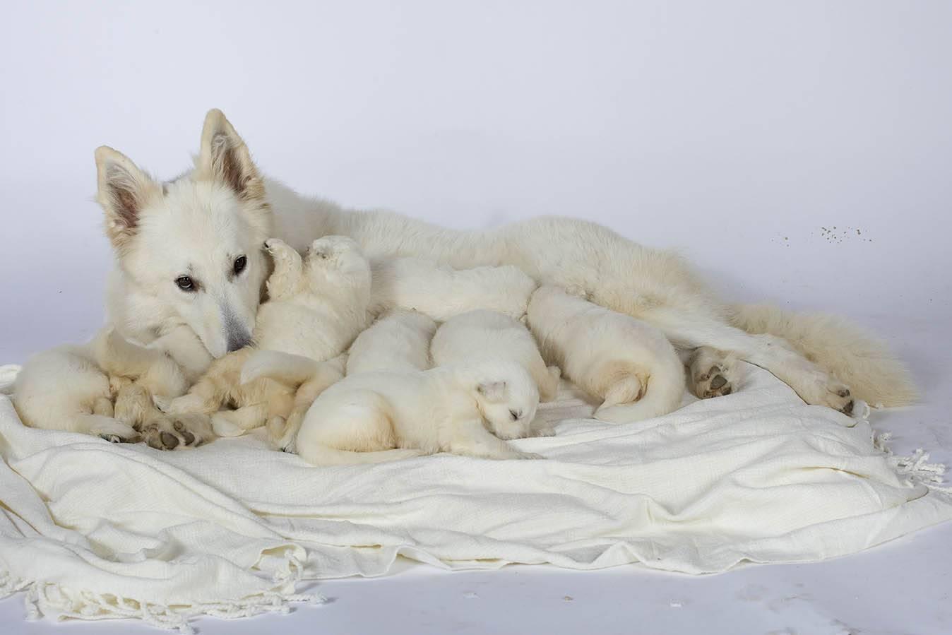https://www.wikichien.fr/wp-content/uploads/sites/4/la-lactation-de-la-chienne.jpg