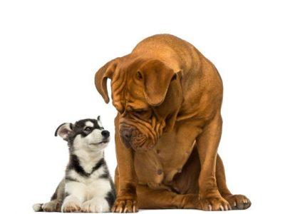La nourriture des chiens : une différence de taille