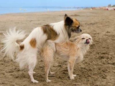 La saillie de la chienne et du chien