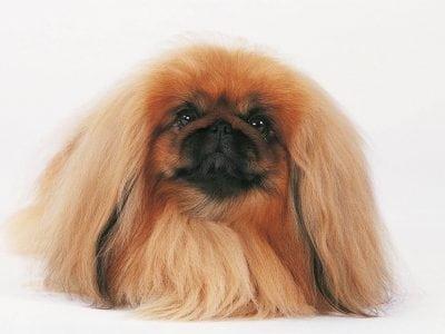 La structure du système pileux du chien dépend de sa race et de son âge