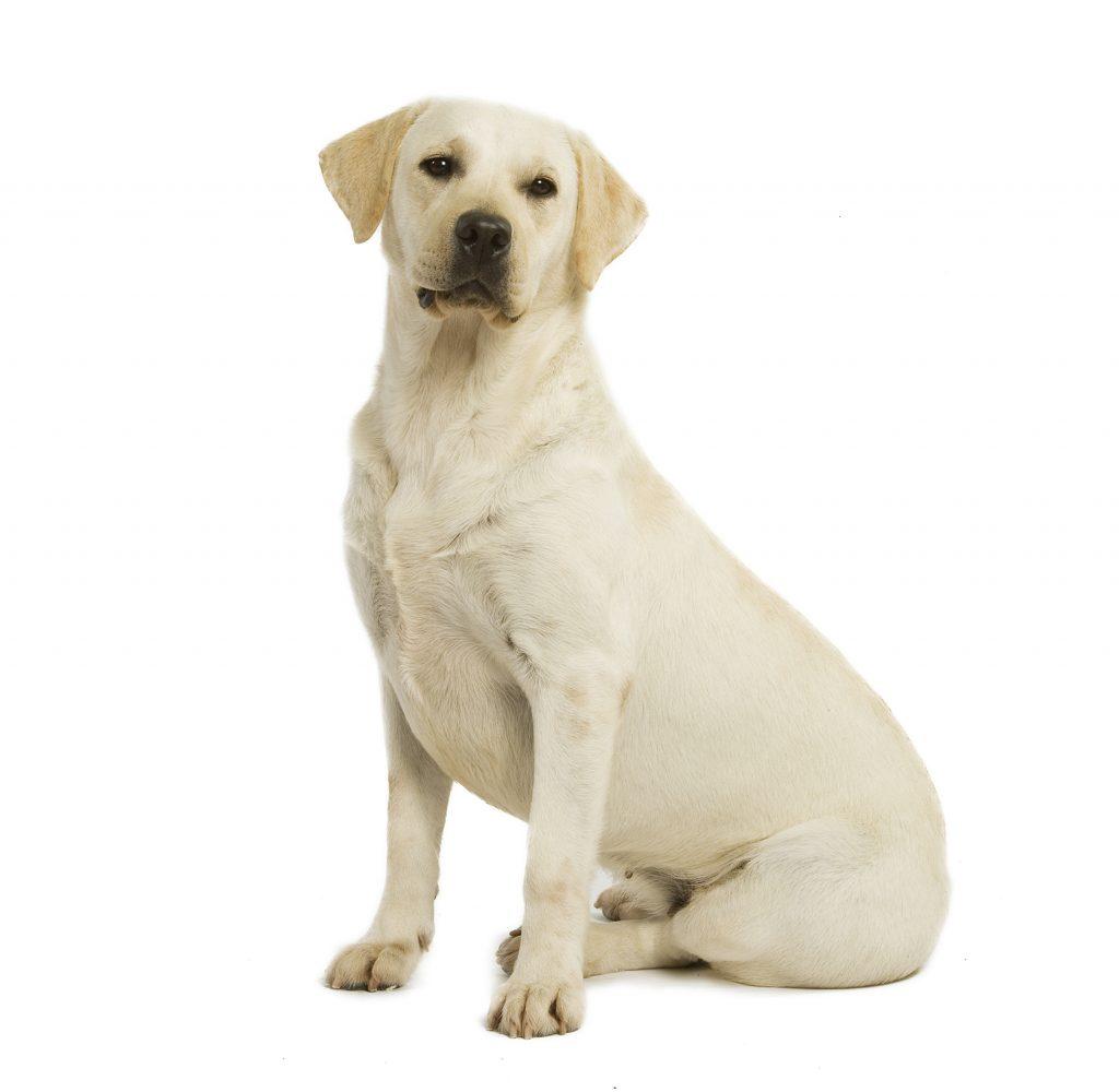 chien labrador retriever chien et chiot fiche de race