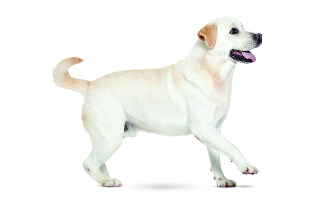 Caractère du Labrador retriever