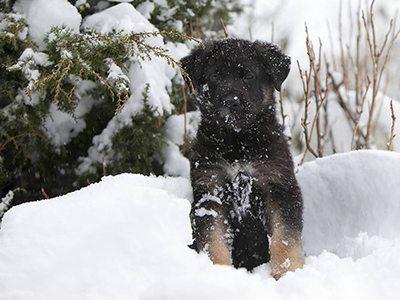le chiot en hiver