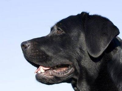 Les aboiements du chien