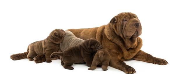 Nourrir une chienne en gestation