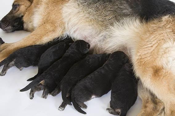 https://www.wikichien.fr/wp-content/uploads/sites/4/les-convulsions-de-la-chienne-allaitante.jpg