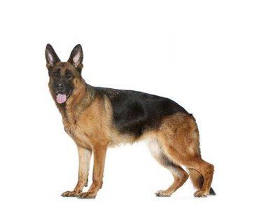 Les glandes anales du chien