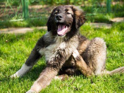 Les parasites du chien : des invités indésirables