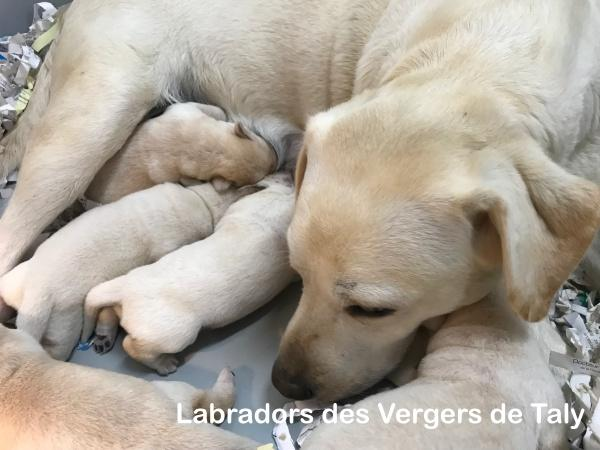 Chiot Labrador retriever : 3  mâles – femelle 0 238102