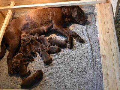 Chiot Labrador retriever : 4  mâles – femelle 0 247139