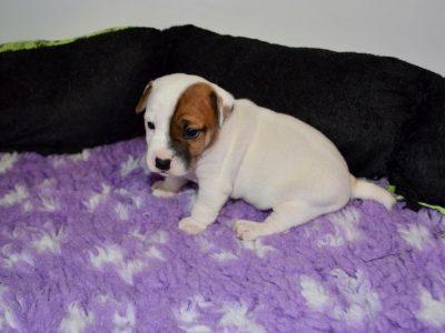 Chiot Jack russell terrier : 3  mâles – femelle 1 241791