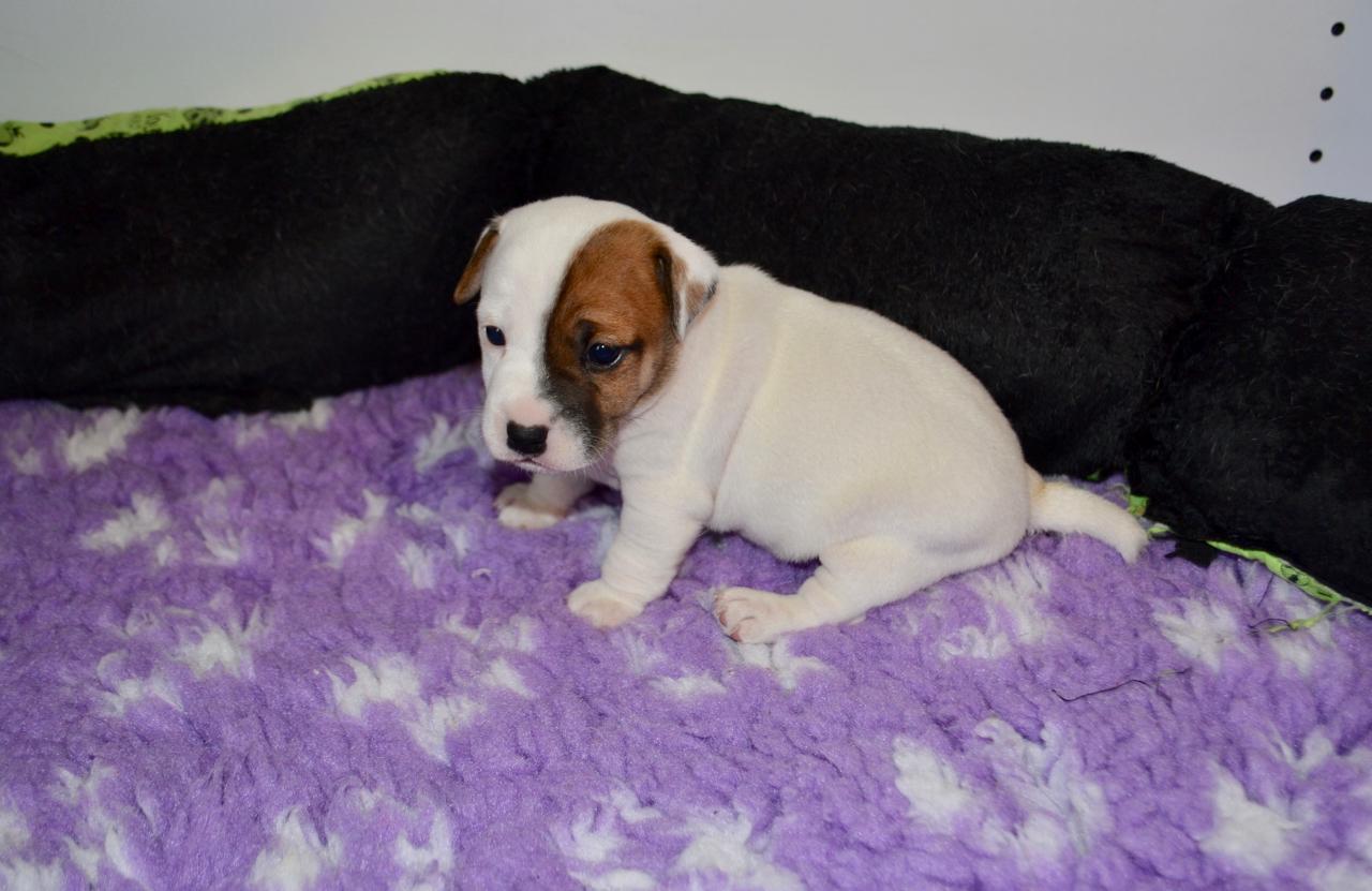 Chiot Jack russell terrier : 3  mâles - femelle 1 241791