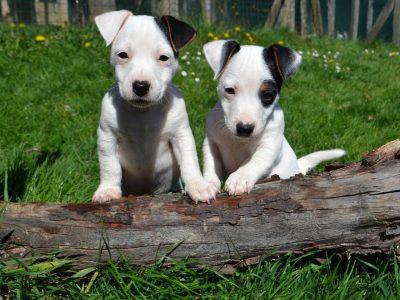 Chiot Jack russell terrier : 1  mâle – femelle 0 242136