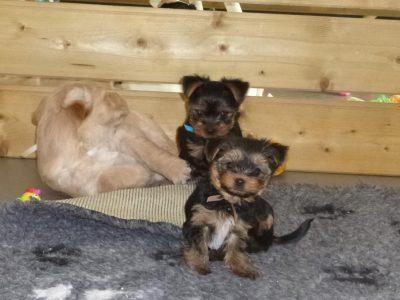 Chiot Yorkshire terrier : 3  mâles – femelle 1 249292