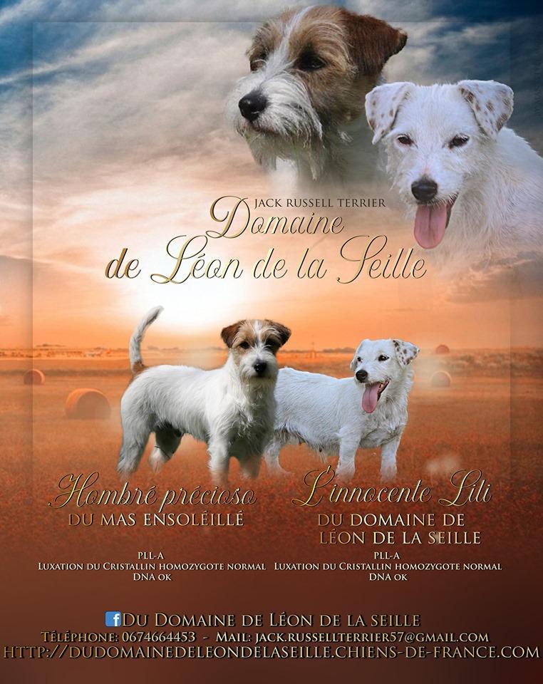 Chiot Jack russell terrier : 1  mâle - femelle 1 245763