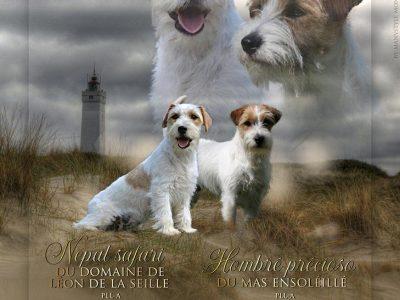 Chiot Jack russell terrier : 4  mâles – femelles 3 249156