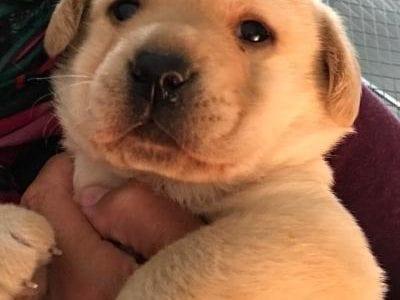 Chiot Labrador retriever : 1  mâle – femelle 0 240796