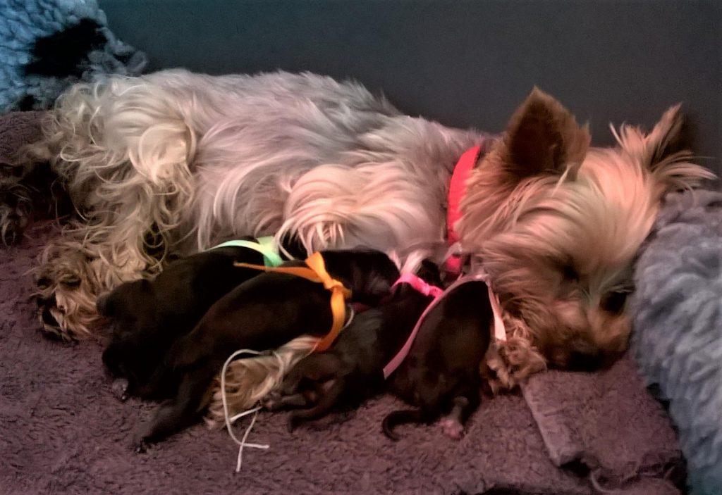 Chiot Yorkshire terrier : 1  mâle – femelles 3 247656