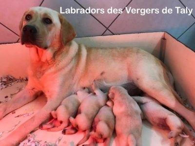 Chiot Labrador retriever : 3  mâles – femelle 0 238103